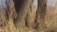 CU PAN with feet and trunk of African elephant as it sniffs through grass