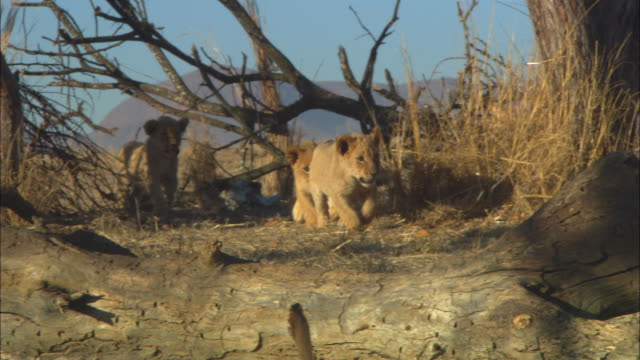 PAN with group of African lion cubs playing amongst dead trees