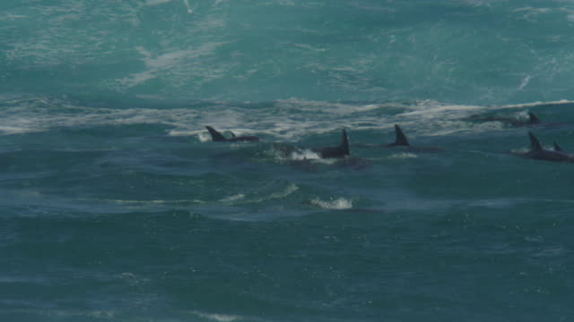 PAN with group of Bottlenosed Dolphins swimming through breaking waves and surfing visible underwater
