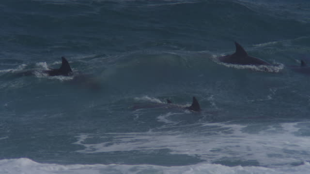 PAN with group of Bottlenosed Dolphins with calf swimming through breaking waves and surfing visible underwater