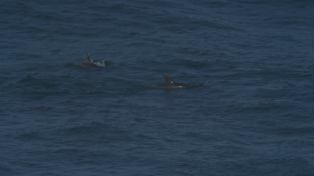 PAN with group of Bottlenosed Dolphins with calf swimming through waves
