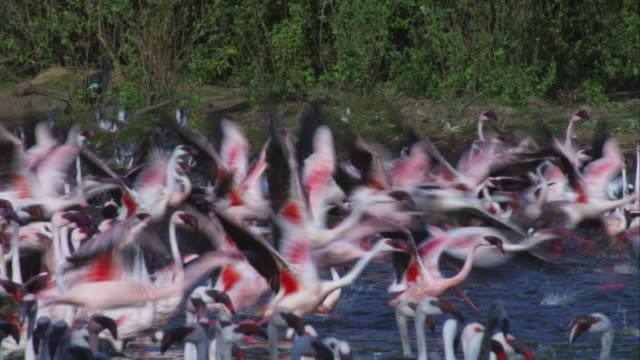PAN with group of flamingoes taking off from shallows and flying over flock with Lake Bogoria shore in background