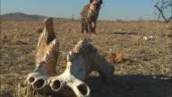 PAN with Hyena as it walks past Hippopotamus jawbone in foreground then runs off