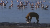 PAN with Hyena carrying body of Flamingo along shoreline then drops it and eats