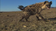 MS PAN with Hyena looking around dry grassland