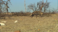 PAN with Hyena running across grassland with dead trees and skulls in foreground