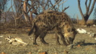 MS PAN with Hyena sniffing around amongst dead trees and skulls then runs directly at camera