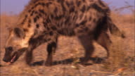 CU PAN with Hyena sniffing ground very close to camera