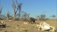 PAN with Hyena sniffing on grassland with dead trees and skulls in foreground ZI to CU as it looks out towards camera