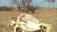 PAN with Hyena sniffing on grassland with dead trees and skulls in foreground