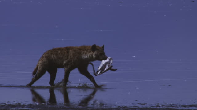 MS PAN with Hyena walking in profile along shore with dead Flamingo in its mouth
