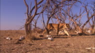 PAN with large African lion cub as it walks nervously into area with dead trees and skulls