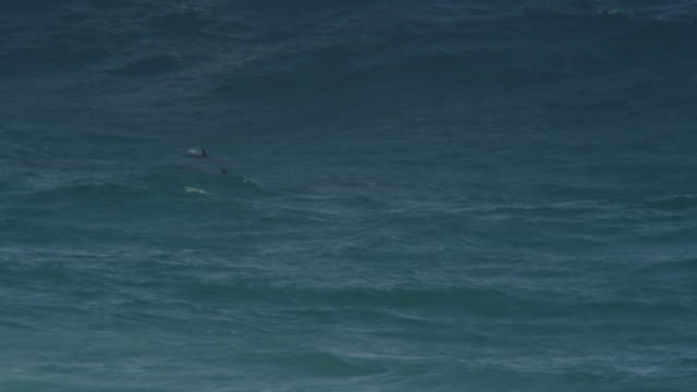 PAN with large group of Bottlenosed Dolphins swimming in profile then turning to surf