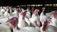 With one week before Thanksgiving turkeys sit in a barn at the Willie Bird Turkey Farm November 20 2014 in Sonoma California An estimated forty six...