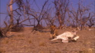 PAN with very young African lion cub trotting through dead trees with giraffe skull in foreground