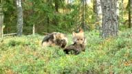 Wolf cub and raccoon