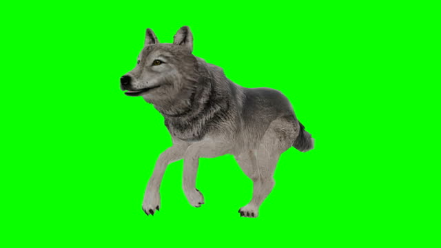 Wolf Green Screen (Loopable)