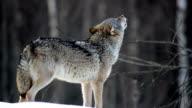 Wolf Ulula