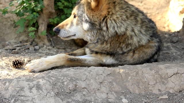 Wolf liegen auf dem Boden