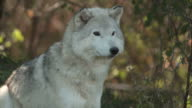 Wolf on watch