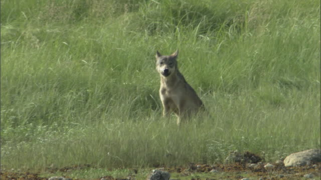 A wolf sits on the edge of a grassy estuary and howls.