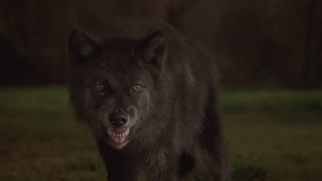 A wolf snarls and growls.