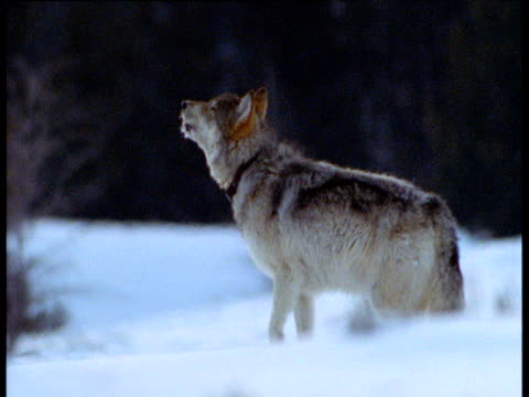 Wolf standing in snow raises head and howls, radio collar visible, Alaska