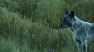 A wolf stands in a grassy field and howls.