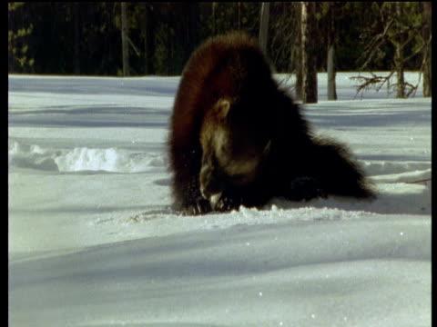 Wolverine gnaws on scraps in snow, Scandinavia