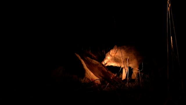 Wölfe kämpfen über Fleisch