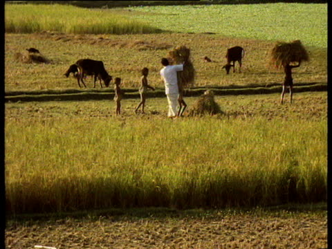 Woman and children cultivating rice in field woman places bale of hay on head of child child carries it through field