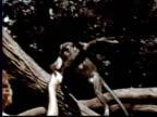 1957 MONTAGE Woman + boy feeding monkeys / Singapore Botanical Gardens, Singapore / AUDIO