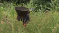 A woman carries a large woven basket on her back as she harvests rice from a field.