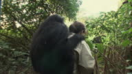 MS Woman carrying chimpanzee on shoulder in forest / Ngamba Chimp Sanctuary, Ngamba Island, Uganda