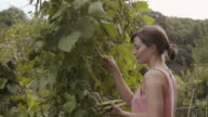 Woman collects beans from beanstalks in allotment garden.