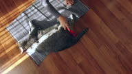 woman combing cat breed obese British sorthair in the house