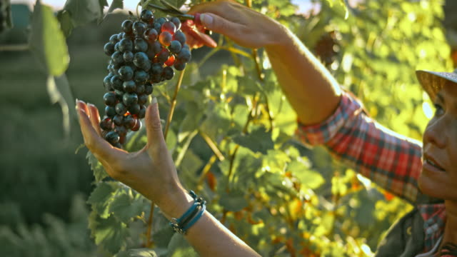 LD Woman cutting a red grape cluster at sunset