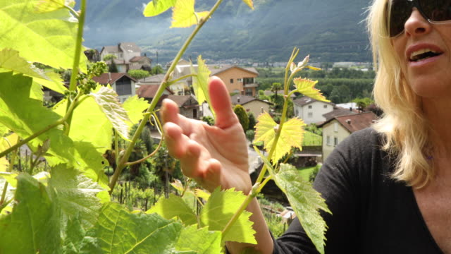 Woman explores vineyard in early spring, examines new grapes on vine
