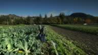 Woman Harvesting cauliflower on Organic Farm