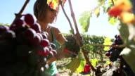 Woman harvesting grape in Tuscany