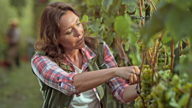 DS Woman harvesting grapes by hand in sunny vineyard