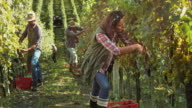 DS Woman harvesting grapes by hand in vineyard