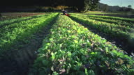 MS POV Woman harvesting lettuce on organic farm / Langlois, Oregon, United States