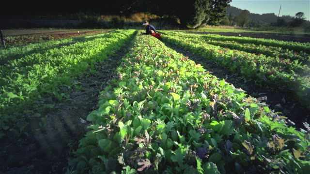 MS POV Woman harvesting lettuce on organic farm / Langlois, Oregon, United States
