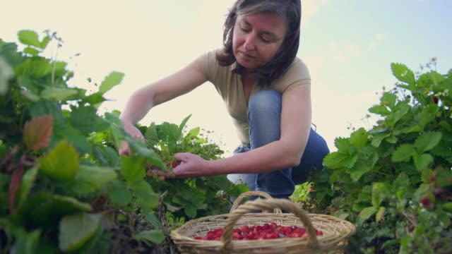 Ms La Woman Harvesting Woodland Strawberries Malaga Spain Stock ...