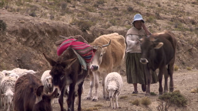 A woman herds livestock along a mountain trail. Available in HD.