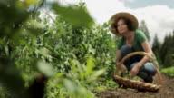 Woman in a field, picking peas