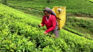 Woman Picking Tea in Sri Lanka