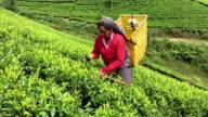 Frau Tee pflücken in Sri Lanka