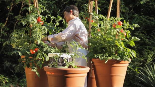 MS TU Woman picking tomatoes in garden / Madison, Florida, USA